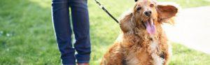 Happy Cockapoo dog outside