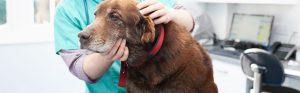 senior-labrador-with-vet3